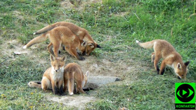 Na lubelskim osiedlu zamieszkała rodzina lisów. <br />Reporter 24 sfotografował nowych lokatorów