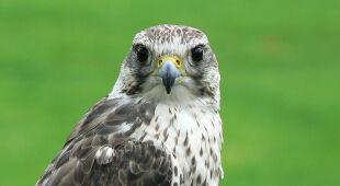 Raróg to ptak drapieżny zagrożony wyginięciem