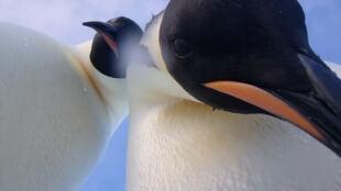 Wystarczy na chwilę zostawić kamerę. Ciekawskie pingwiny z Antarktydy