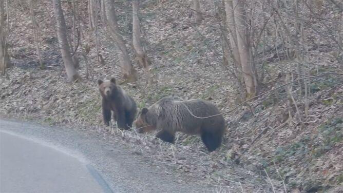 """Niedźwiedzie na spacerze. """"Są bardzo pobudzone, mogą w każdej chwili zaatakować"""""""