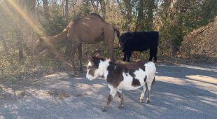 Krowa, wielbłąd i osioł uciekły z parku przyrody
